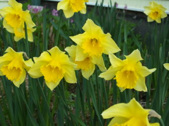 Narcissus blossom in a North Douglas yard.