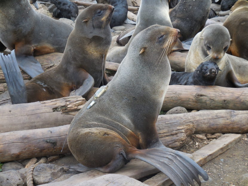 Tracking instruments are temporarily glued to female northern fur seals. (Carey Kuhn/NOAA Fisheries)