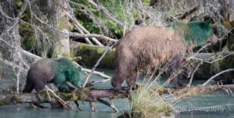 A sow and her cub showed up at the Chilkoot River on Wednesday doused in green paint. Biologists are trying to figure out what happened. (Tom Ganner/T. Ganner Photography -Time & Space)