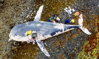 Researchers collect samples from a beached humpback whale carcass Saturday on a Sitka Sound beach. (Drone photo by Joe Serio)