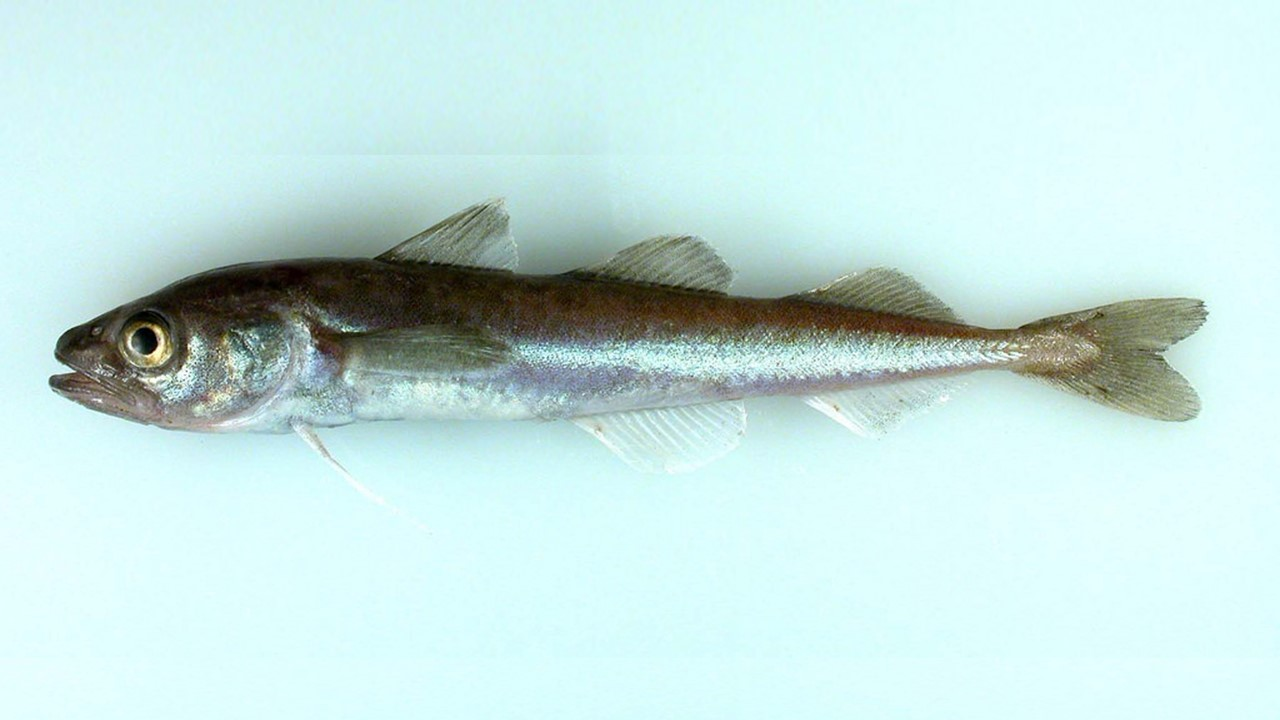 Arctic cod is an important part of the marine food web. (Photo courtesy of NOAA)