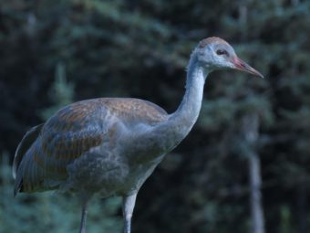 "A juvenile lesser sandhill crane (""colt"") in Homer, Alaska. CREDIT PHOTO COURTESY OF NINA FAUST"