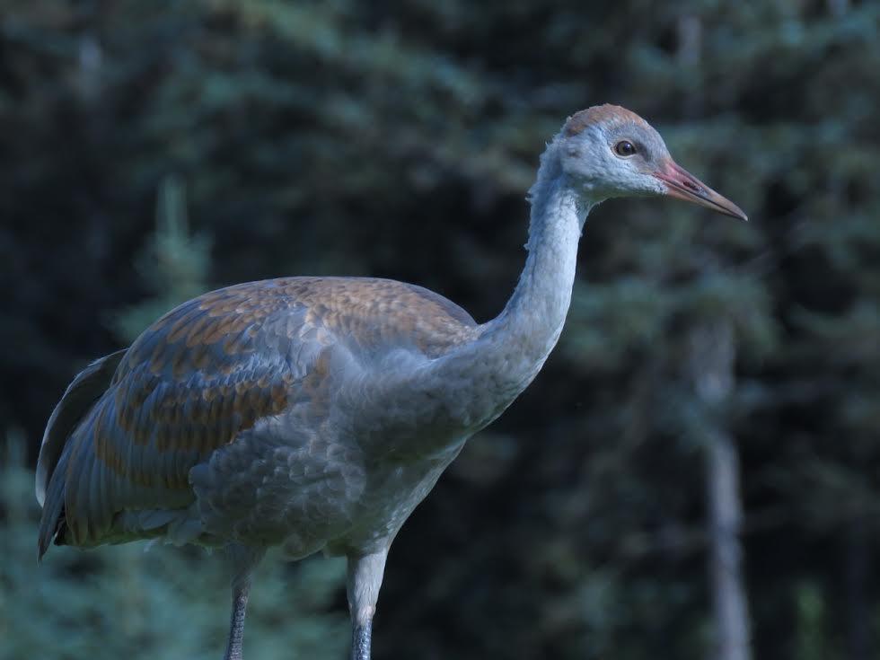 "A juvenile lesser sandhill crane (""colt"") in Homer, Alaska. CREDIT PHOTO COURTESY OF NINA FAUST"