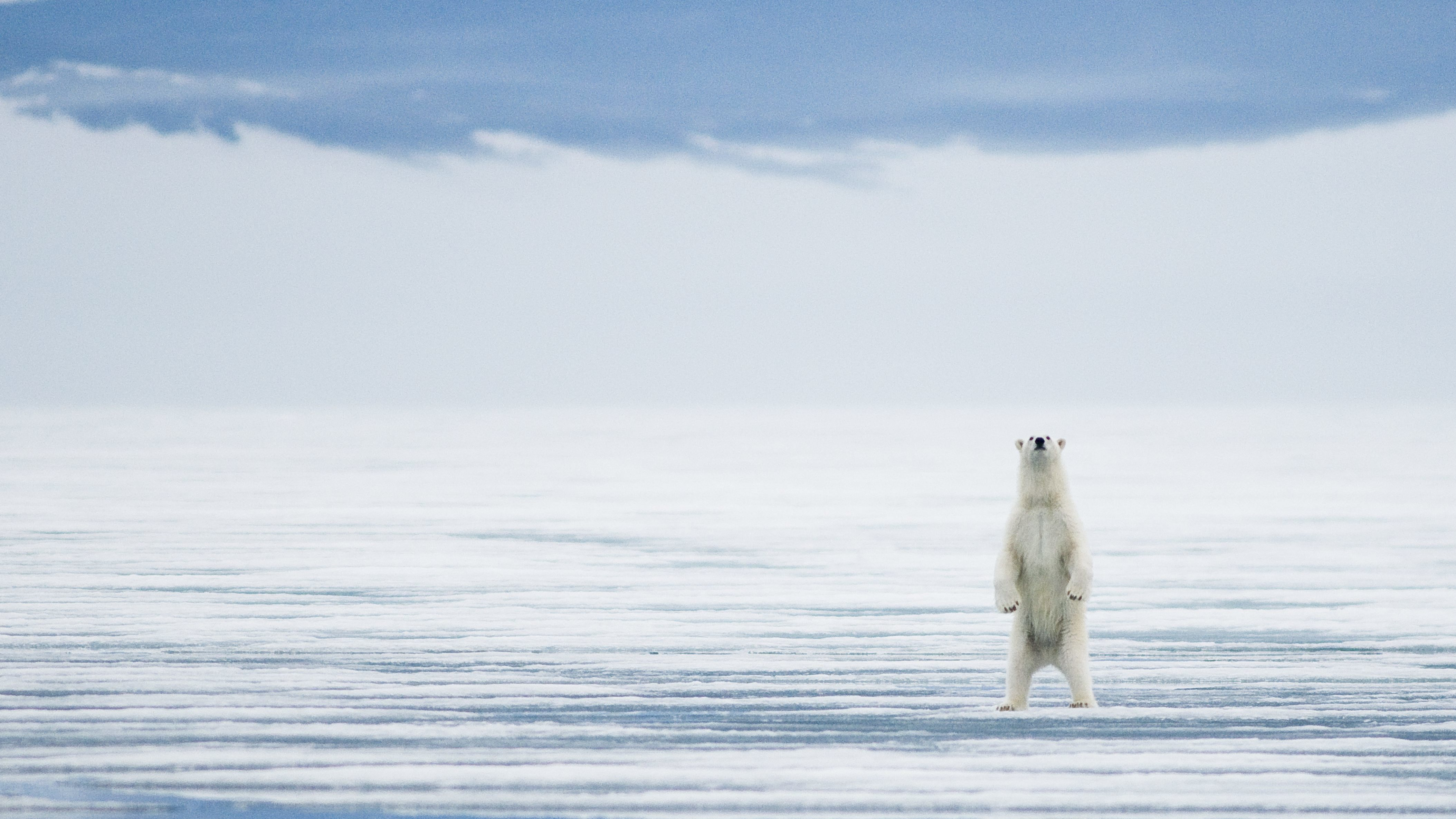 A polar bear stands tall during the summer of 2009 in Svalbard, Norway. (Photo by Steven Kazlowski/Barcroft Media via Getty Images)