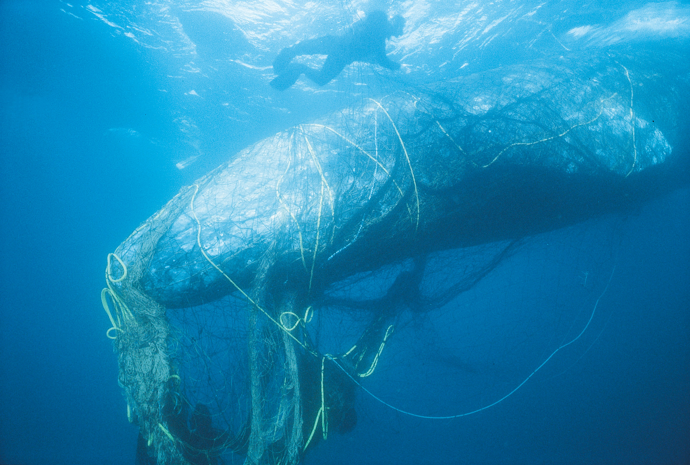Rescuers untangle a gray whale from ghost net off the coast of California.