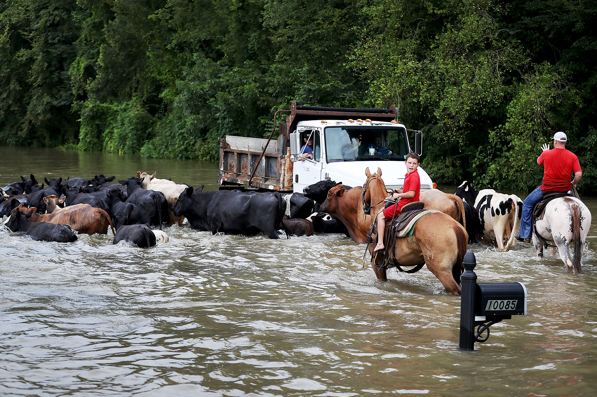 Cattle had to be driven through the waters of a flooded road, and then trucked to higher ground on Aug. 16, in Sorrento, La. About a third of the flooding in the state last month occurred outside the local flood plain. (Photo by Joe Raedle/Getty Images)