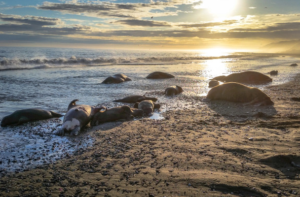 Walrus found dead and decapitated near Cape Lisburne. (Photo by U.S. Fish and Wildlife Service.)