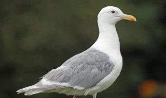 Glaucous-winged Gull in breeding plumage at Seward, Alaska.