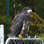 The fledgling eagle contemplates another attempt at flying.
