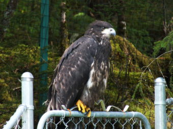 The fledgling eagle wonders about this whole flying thing and whether it's worth it.