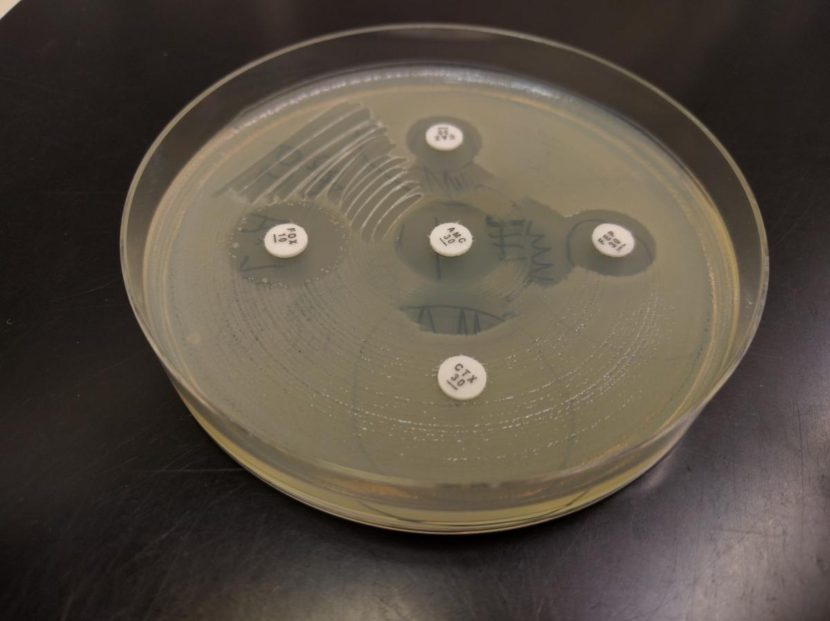 """A test for antibiotic resistance. The cloudy film on the petri dish surface are E. coli bacteria and the little white discs contain different antibiotics. If the E. coli are resistant to the antibiotic, they grow right up to the edge of the white disc. If the disc has a little """"halo"""" around it, that means the E. coli are susceptible to the antibiotic."""
