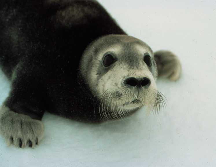Bearded Seal Pup. (Photo courtesy NOAA)