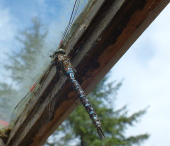 A dragonfly takes a moment to rest inside a greenhouse on Douglas Island earlier this summer.
