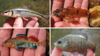 Micro-fish caught by Ben Cantrell: (top row) bleeding shiner, knobfin sculpin, (bottom row) plateau darter and bantam sunfish. (Photo courtesy of Ben Cantrell)