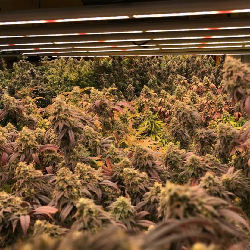 Rainforest Farms first marijuana crop
