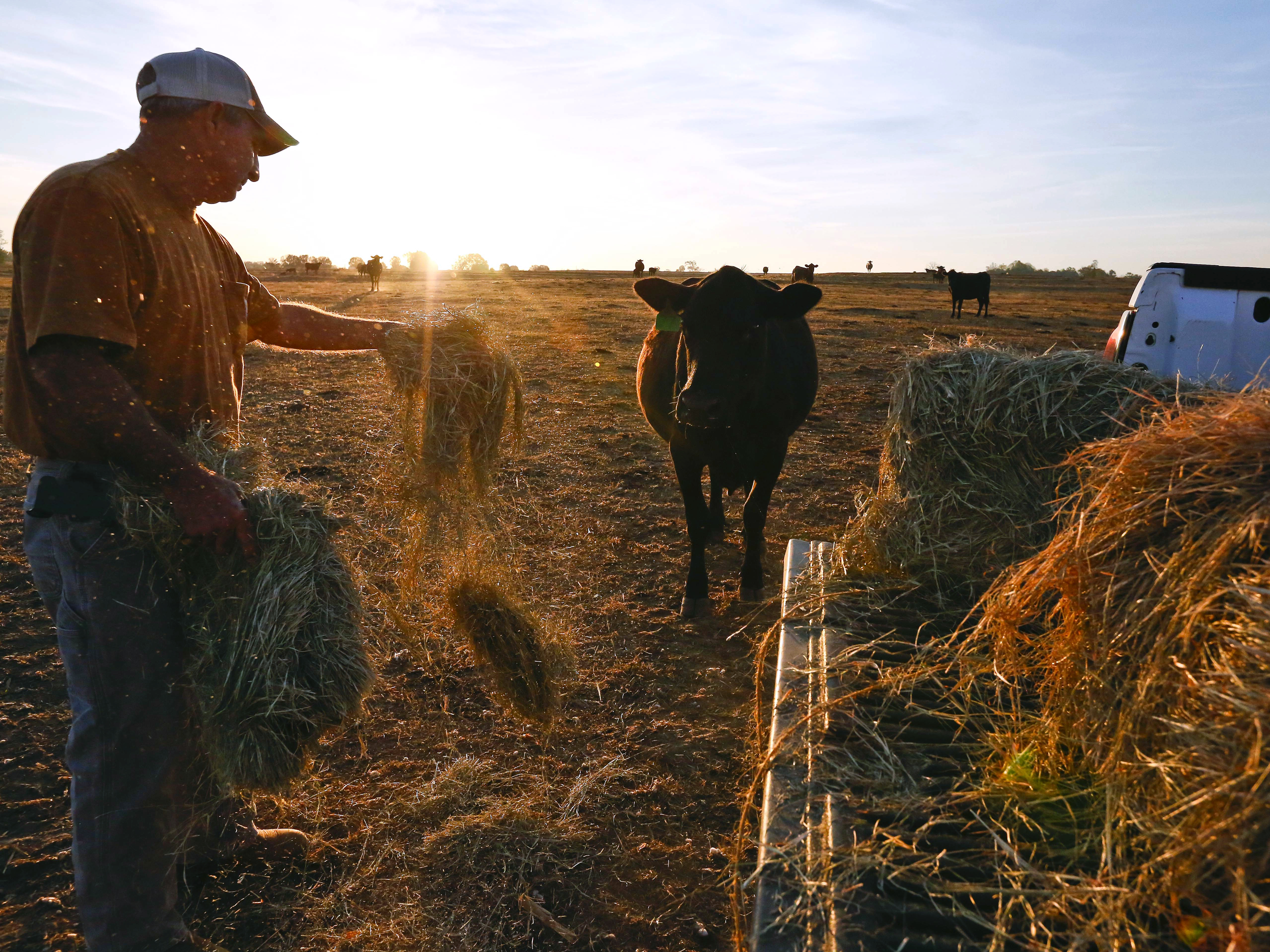 David Bailey tosses hay to one of his remaining cows in Dawson, Ala., on Oct. 26. Bailey had to sell off half of his cattle herd — more than 100 animals — because he doesn't have enough hay to feed them through the winter.