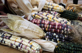Some of the indigenous corn varieties growing in Taylor Keen's backyard. Cherokee White is a kind of sweet corn with white, purple, and yellower kernels that is ground for flour. Green Oaxacan is processed to make hominy and corn meal. (Photo by Grant Gerlock/Harvest Public Media)