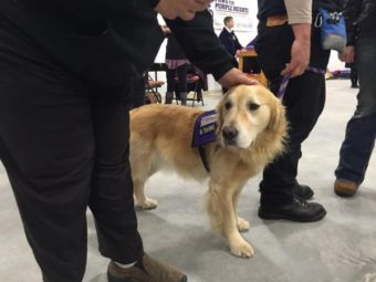 A Paws For Purple Hearts service dog greets visitors during an open house at the group's new training center in south Fairbanks November 12th. (Photo by Dan Bross/KUAC)