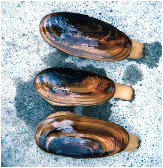 Cook Inlet Razor Clams (Photo courtesy of Alaska Department of Fish and Game)