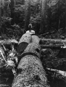 Bucked Sitka spruce.