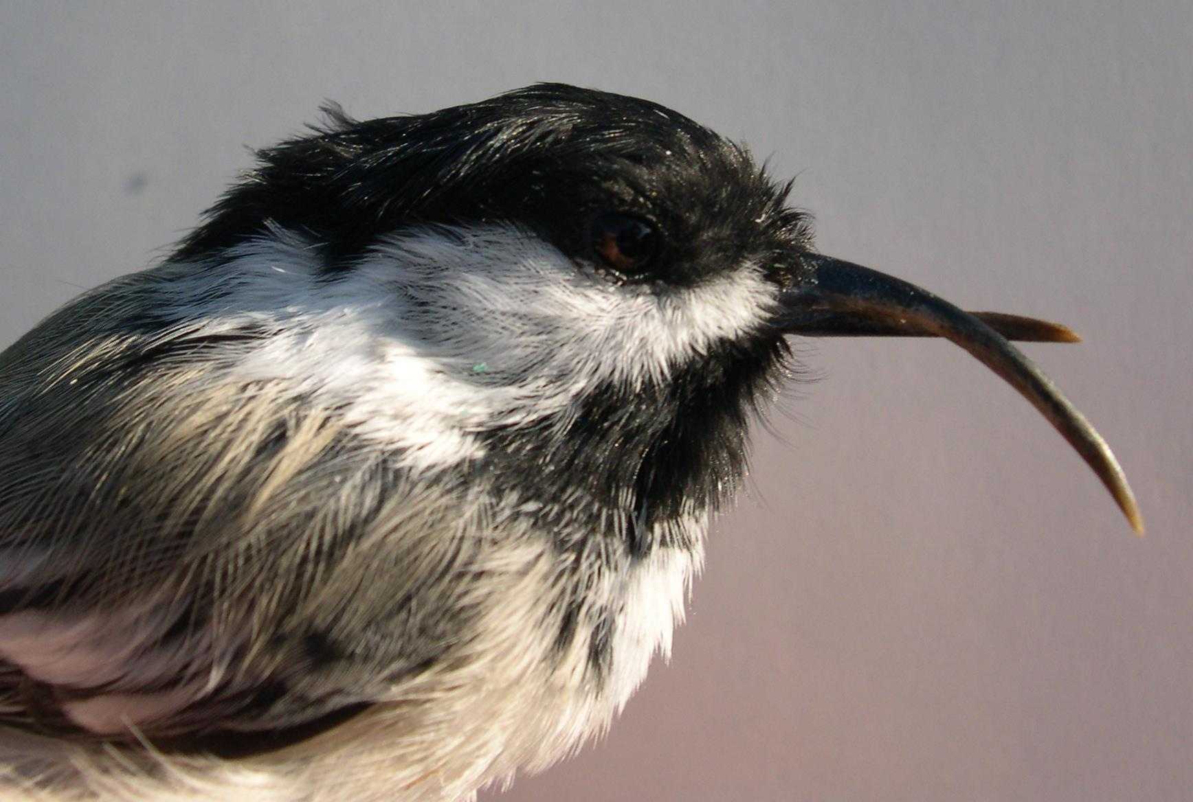 "Normally, beak deformities occur in less than 1 percent of wild birds. But in Alaska, researchers have found so-called ""twisted beaks"" in over 6 percent of black-capped chickadees and 17 percent of northwestern crows. (Photo courtesy of Colleen Handel)"