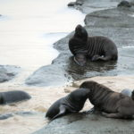 Month old Steller sea lion pups playing on Ulak Island. (Photo courtesy NOAA Fisheries)