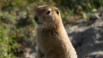 Arctic ground squirrel photographed on Chirikof Island in July 2013. (Photo courtesy of Patrick Saltonstall)