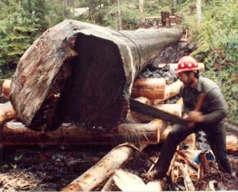 Bucking a 44–inch–diameter Sitka spruce on the Tongass National Forest in 1991.
