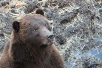 All of the bears at the Fortress of the Bear were orphaned as cubs, and would otherwise have been euthanized. (Photo by Rachel Waldholz/KCAW )