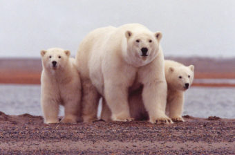 A polar bear keeps close to her young along the Beaufort Sea coast in Arctic National Wildlife Refuge.