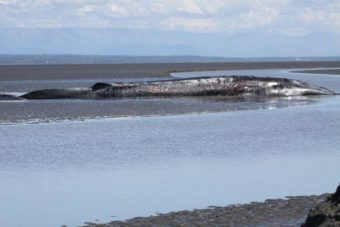 A beached fin whale in the upper Knik Arm on June 21, 2016. (Photo by Christopher Garner/JBER biologist)