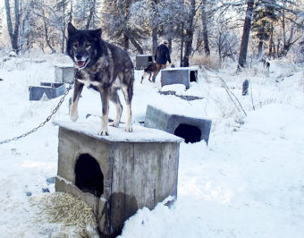 Dillingham musher Kyle Belleque has given away or sold most of his sled dogs. (Photo by Avery Lill/KDLG)
