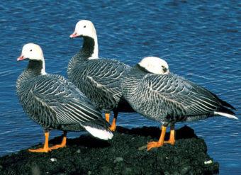 Emperor geese at Adak Island.