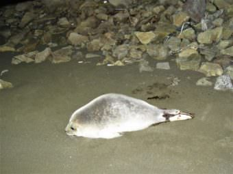 Have You Seen This Seal? Unalaska Responders Search For Stranded Marine Mammal (Photo by Melissa Good)