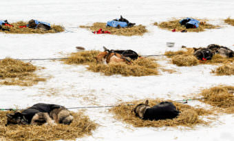 Sleepy sled dogs belonging to Pete Kaiser, Ray Redington, Jr., and Jason Mackey rest at Galena during the Iditarod. (Photo by Zachariah Hughes/Alaska Public Media)