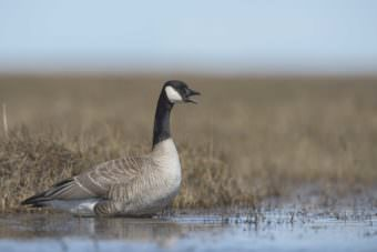 Canada goose on the Colville River Delta. (Photo by Ryan Askren, USGS.)