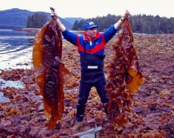 NOAA Researcher Mike Murphy holding Laminaria saccharina sugar kelp algae. Kelp grows over the winter months in Southeast Alaska, and is not difficult to farm. According to Markos Scheer, it's a $20 billion industry worldwide. (NOAA photo/David Csepp)