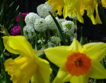 Primroses and daffodils simultaneously bloom in a North Douglas flower bed.