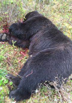 Brown bear shot on douglas island the first documented kill in an adult brown bear weighing at least 700 pounds was shot and killed by a homeowner near north douglas highway on may 25 authorities ruled the killing publicscrutiny Choice Image