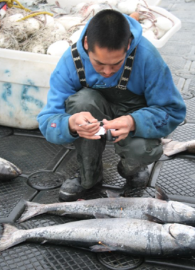 A subsistence fishermen collects biological samples of king salmon. (Photo courtesy Spearfish Research)