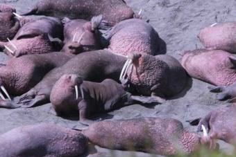 A few of the couple thousand walrus hauled out at Cape Grieg north of Ugashik Bay in June 2016. Alaska Department of Fish and Game and U.S. Fish and Wildlife Service say the walrus are back this year, but have not said yet how many. (Photo by KDLG)