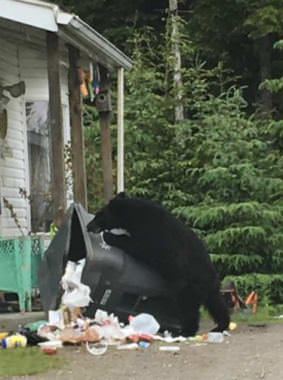 A black bears claws its way into a non-bear resistant trash can, Tuesday June 12th. (Photo by Carter Barrett/KTOO)