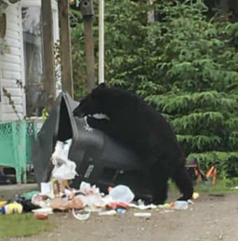 A black bears claws its way into trash can in the Mendenhall Valley on June 12, 2017.