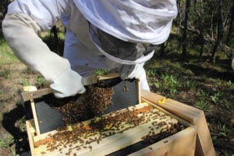 Pamela Murphy slides up one of nine trays that fills a wooden crate to show bees in the early stages of building a honeycomb. (Photo by Avery Lill/KDLG)