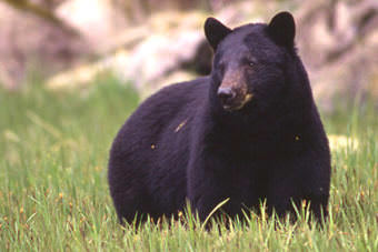 Black bear. (Alaska Department of Fish and Game)