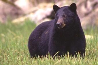 Black bear. (Alaska Department of Fish and Game)