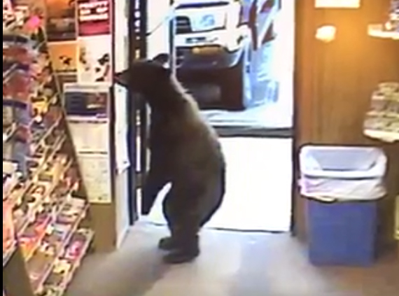 A juvenile bear walked into the Liquor Barrel store in Lemon Creek on Friday morning, according to store clerk Roger Thibodeau. (Still from Liquor Barrel surveillance video)