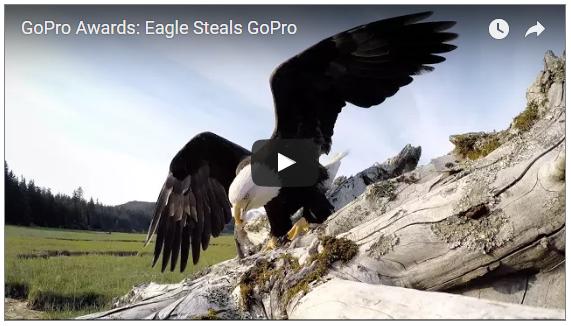 Eagle steals GoPro video.