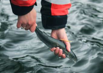 A juvenile black cod is tagged and released back into the ocean. (Photo courtesy NOAA)