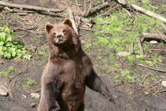 A brown bear in Sitka.